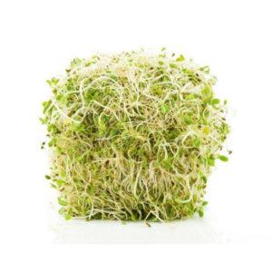 Sprout Alfalfa